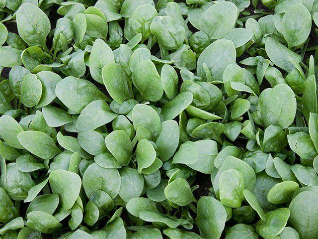 Шпинат Корвер F1 семена шпината (Enza Zaden / Энза Заден) Корвер_семена_овощей_оптом.jpeg