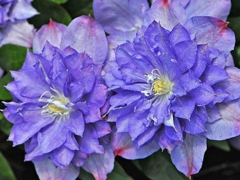 Клематис крупноцветковый Блю Экспложен (Blue Explosion)
