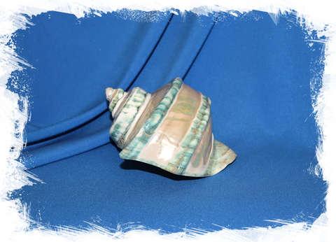 Турбо марморатус полированный по спирали 13 см.