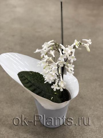 Стрептокарпус Парфуфлора белый
