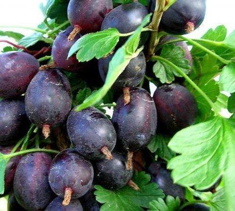 Крыжовник Грушенька (С2)-Ribes uva-crispa Grushenka