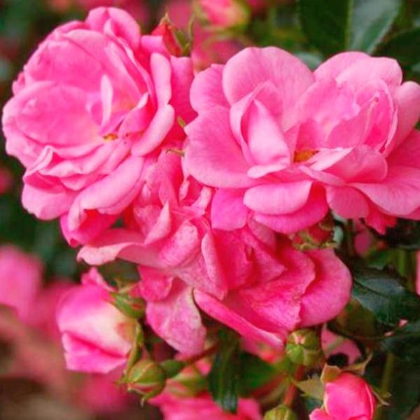 Роза парковая Пальменгартен Франкфурт