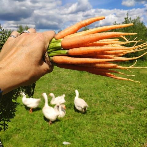 Морковь молодая (Никола-Ленивец), кг