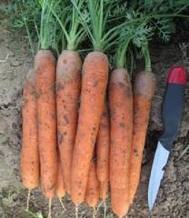Наутилус F1 семена моркови нантской (Гавриш)