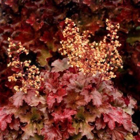 Терракотово-красная солнцестойкая гейхера