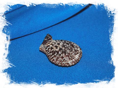 Гребешок лентигиноза (Chlamys lentiginosa)