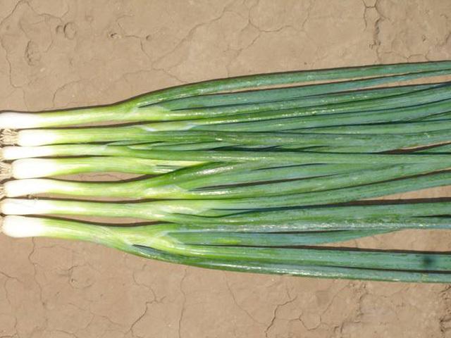 На перо Банчинг стар семена лука на перо (Enza Zaden / Энза Заден) bunching_star.jpeg
