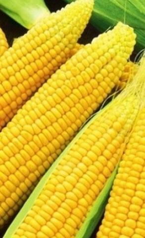Семена Кукуруза Лакомка Белогорья, сахарная