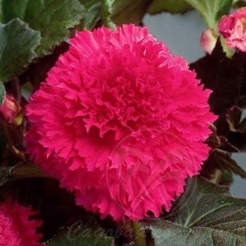 Бегония бахромчатая розовая (2 клубня)