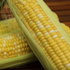Ракель F1 семена кукурузы (Clause / Клос)
