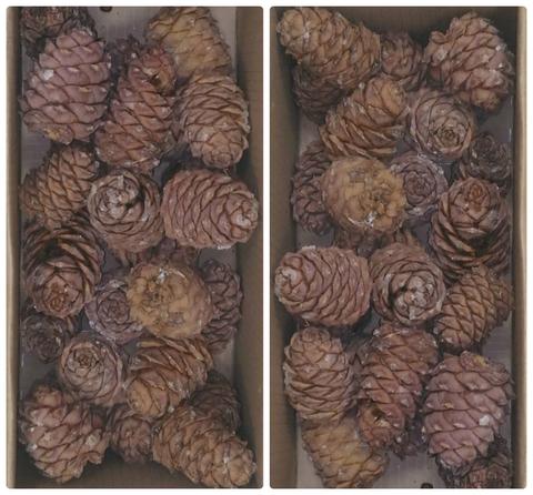Кедровый орех - Шишка небольшая 1 шт