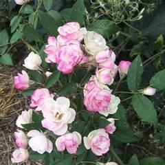 Купить Роза мускусный гибрид Блашинг Брайд