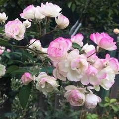 Роза мускусный гибрид Блашин Брайд Северный огород
