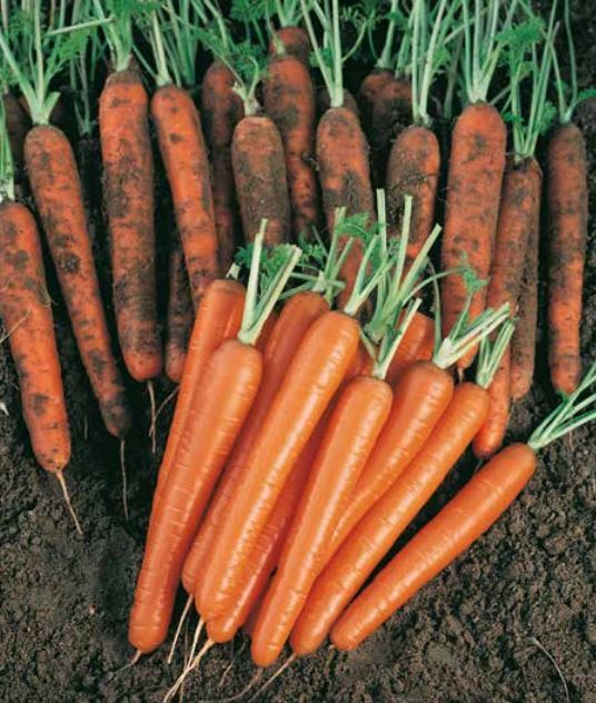 Нантская Сопрано F1 семена моркови нантской (Vilmorin / Вильморин) Сопрано_F1.JPG