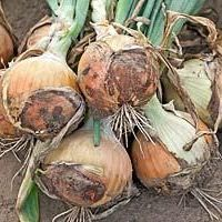 Репчатый Визион F1 семена лука репчатого (Syngenta / Сингента) Лук_Визион.jpg