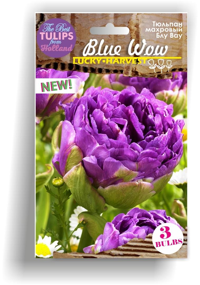Тюльпан   махровый  Blue Wow  (Блу Вау)