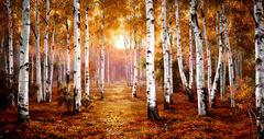 Картина раскраска по номерам 50x65 Осенняя березовая роща