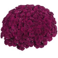Хризантема мультифлора  Daybreak Purple N 2089