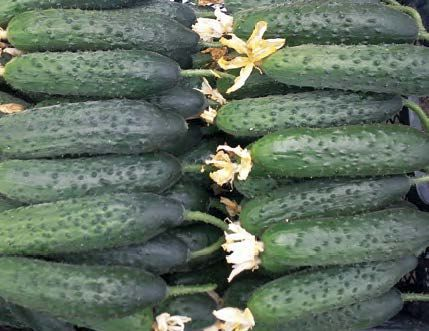 Огурец Габри F1 семена огурца партенокарпического (Sakata / Саката) ГАБРИ_F1_семена_овощей_оптом.jpg