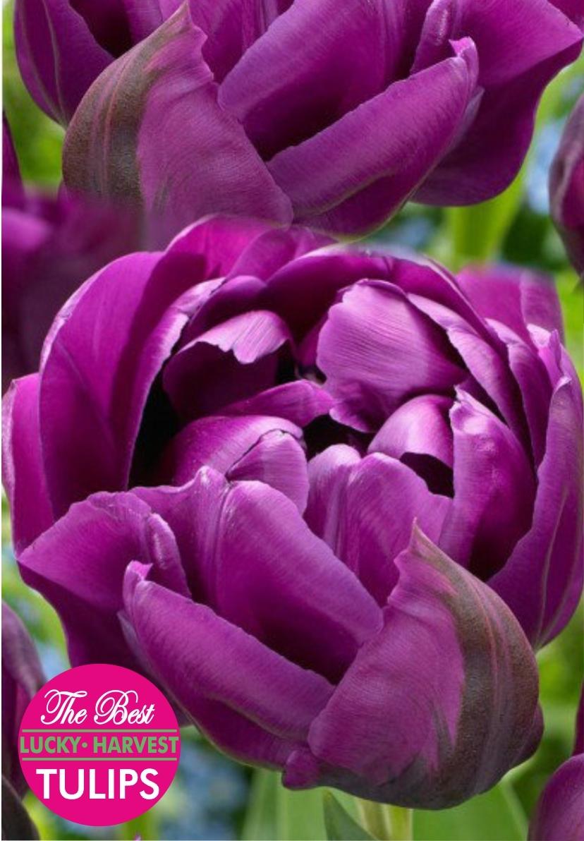 Тюльпан  Махровый ранний Alison Bradley (Элисон Бредли) 5 шт