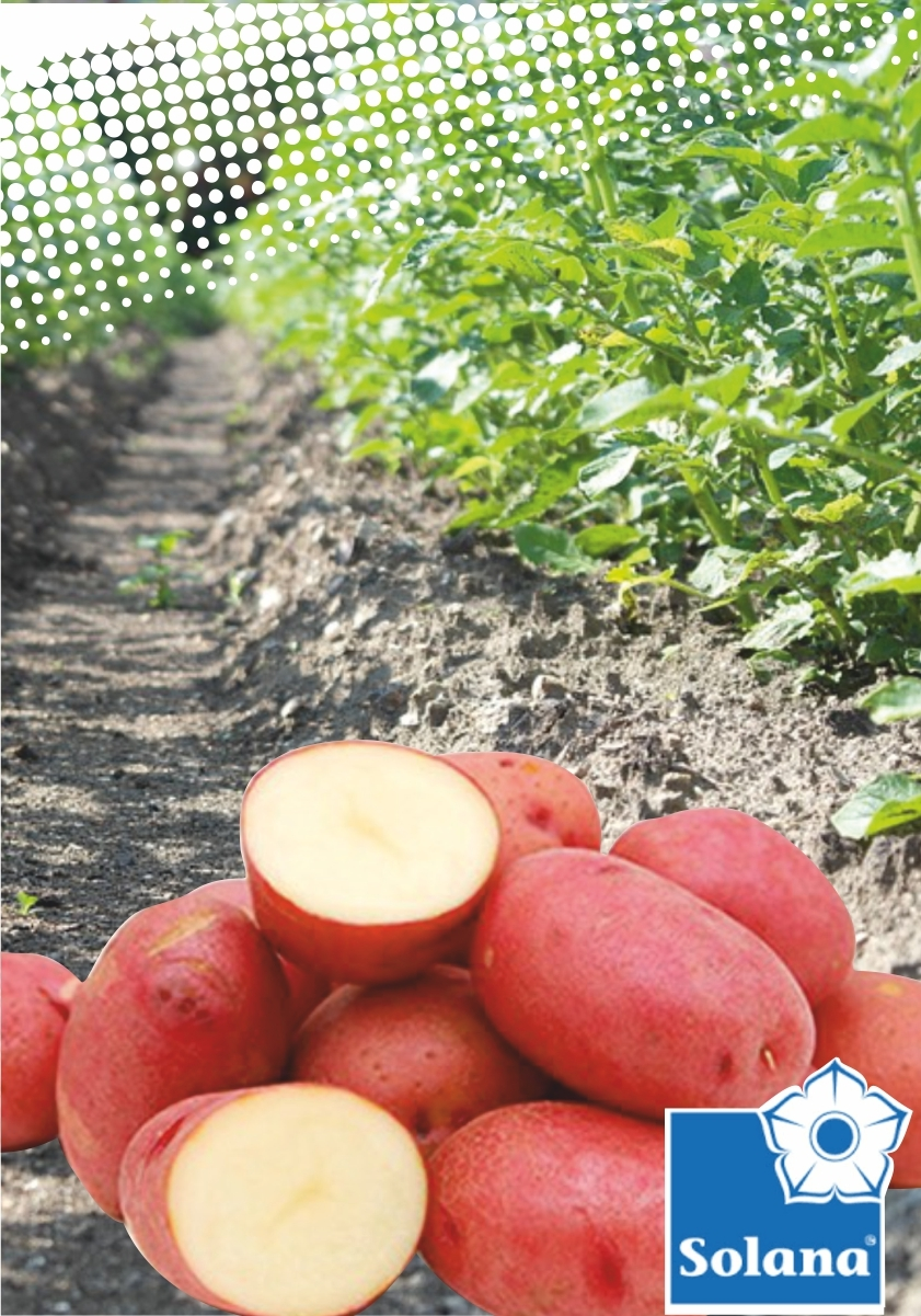 Семенной картофель  РЕД ЛЕДИ ТМ SOLANO (Германия)
