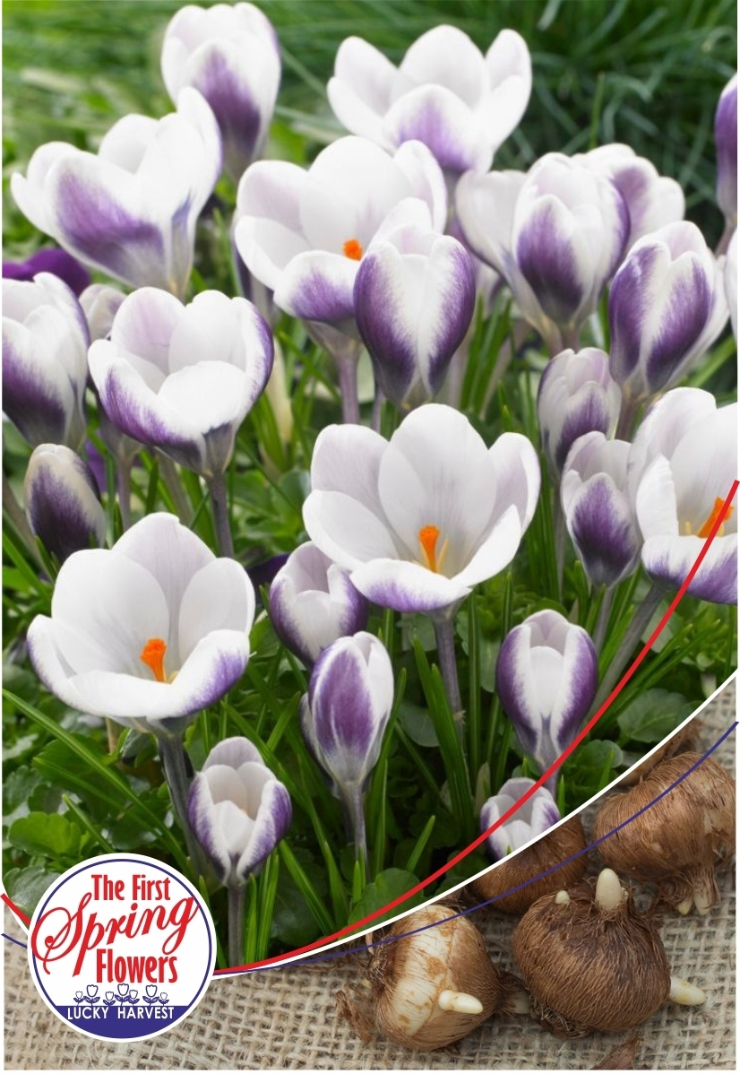 Луковицы Крокуса ботанического  Prins Claus  (Принц  Клаус)  TM Jan de Wit en Zonen B.V. (количество в упаковке 25 луковиц)