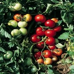Томат Топкапи F1 семена томата детерминантного (Vilmorin / Вильморин) ТОПКАПИ_F1.jpg