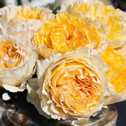 Роза Английская кустовая Beatrice