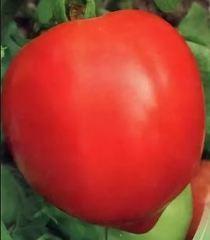 Саломон F1 семена перца сладкого (Clause / Клос)