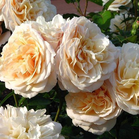 Роза Английская кустовая English Garden