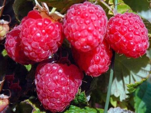 Малина ремонтантные сорта Элегантная (С2)-Rubus idaeus Elegantnaya