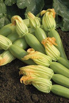 Кабачок Невира F1 семена кабачка (Vilmorin / Вильморин) НЕВИРА_F1__CB_2547__семена_овощей_оптом.jpg