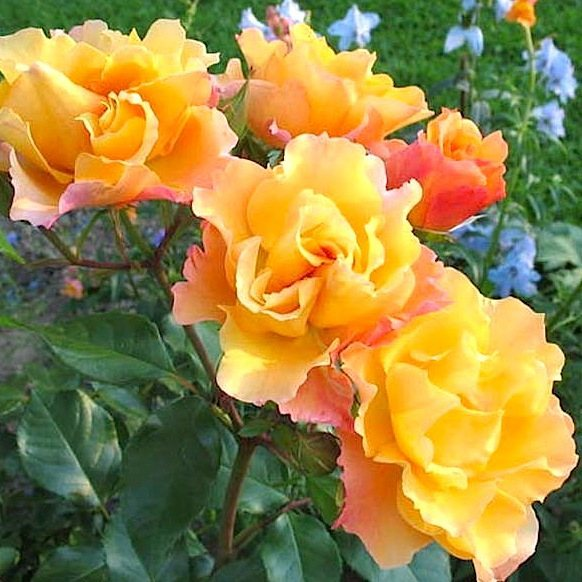 Роза  Текила