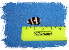 Ракушка Cypraea asellus, Ципрея ослик