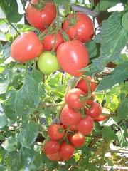 Бонапарт F1 семена томата индетерминантного (Vilmorin / Вильморин)
