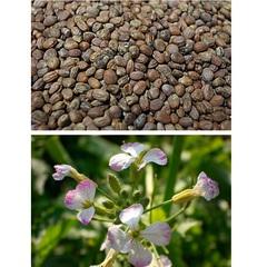 Редька масличная (1 кг)