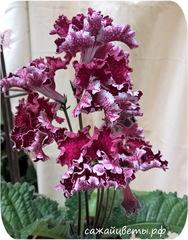 Стрептокарпус, DS-Мохеровый Цветок