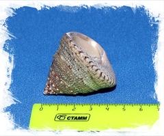 Трохус Макулатус размер