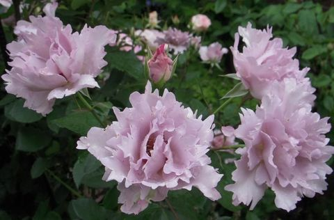 Тилия (Couture Rose Tilia)