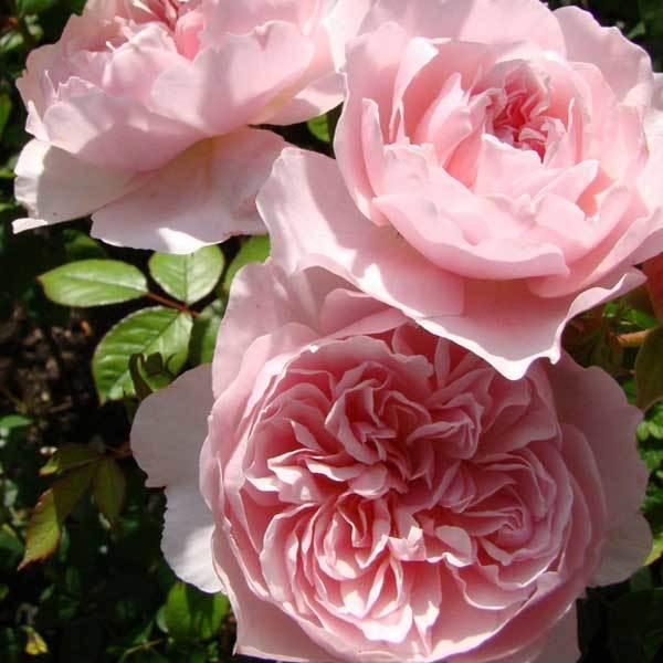 Купить Роза английская Висли Wisley
