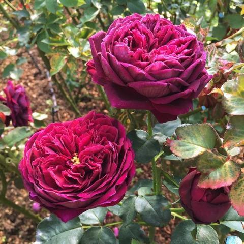 Роза Английская кустовая The Prince