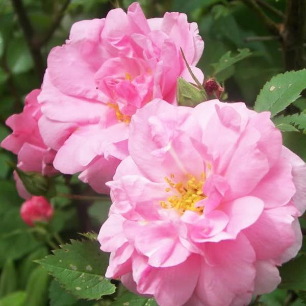 Роза парковая Джон Девис
