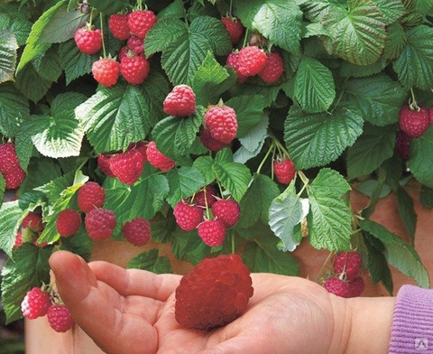 Малина Сказка (С2)-Rubus idaeus Skazka