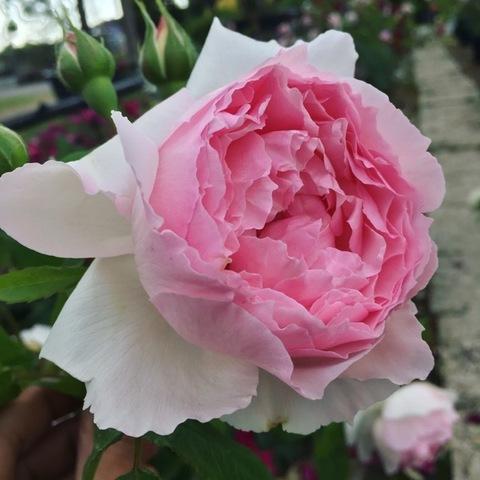 Роза Английская кустовая The Wedgwood Rose