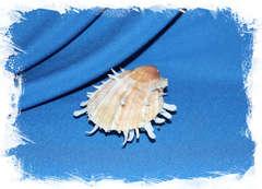 Спондилус албибарбатус (Spondylus albibarbatus)