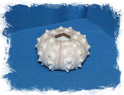 Панцирь морского ежа серый 8 см