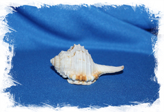 Раковина морская Ranularia gutturnia, Оранжевоустый тритон