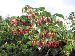 Малина Таруса (С2)-Rubus idaeus Tarusa