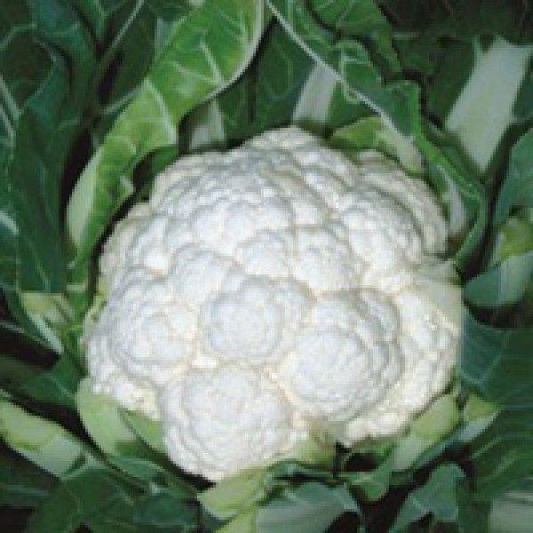 Цветная Фридом F1 семена капусты цветной (Seminis / Семинис) Фридом_семена_овощей_оптом.jpg