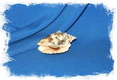 Стромбус лентигиносус (Lentigo lentiginosus)